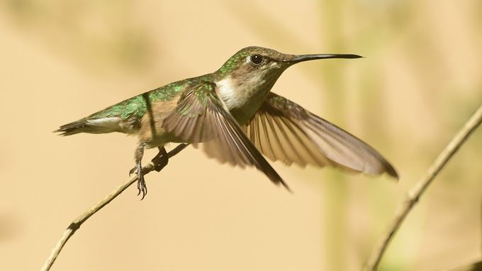 Female Ruby-throated Hummingbird by michaeloberman - Hummingbirds Photo Contest
