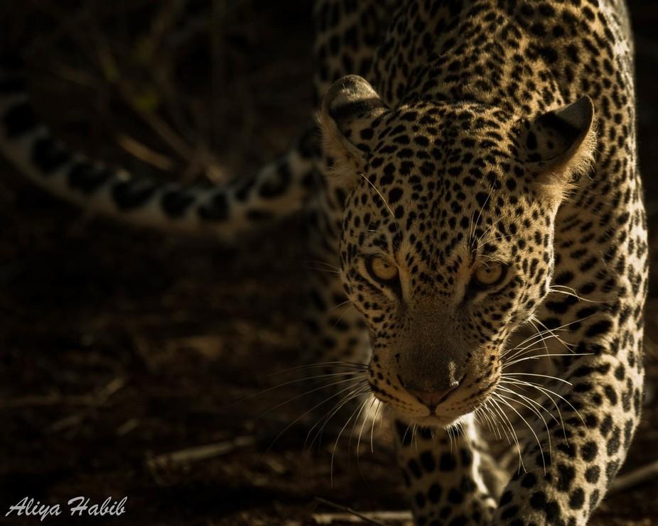 Sinister Leopard