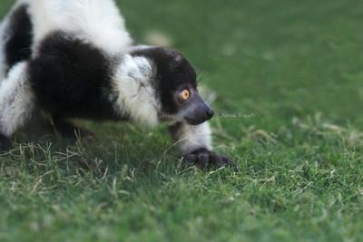 Baby Black & White Ruffed Lemur