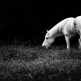 Black and white of a horse grazing in his field of flowers.