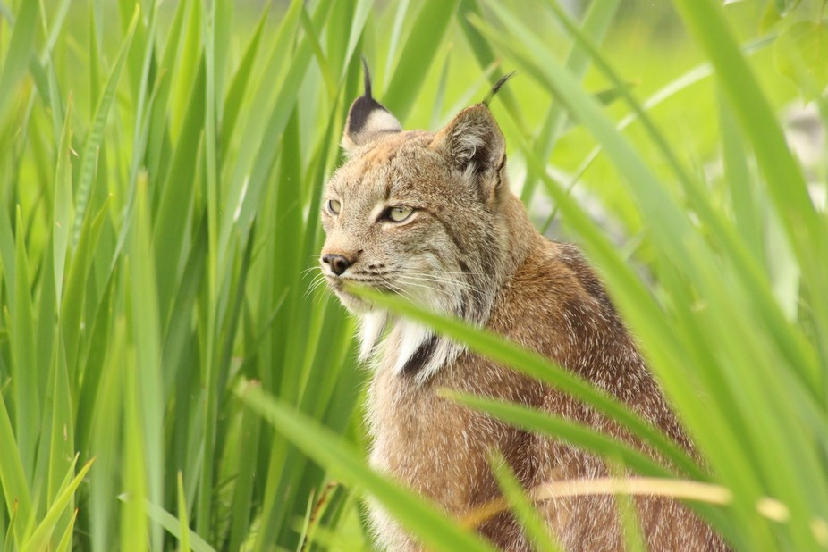 Canadian Lynx (1)