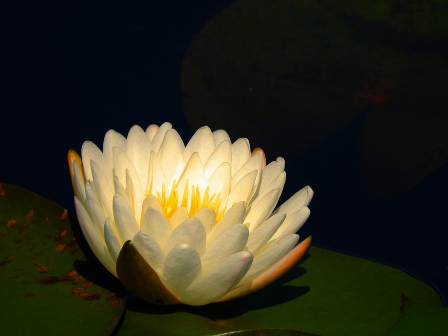 Water Lily opening on a local pond