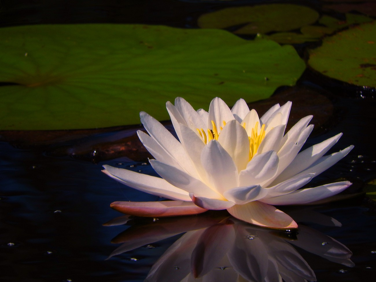 Reflecting Water LIly