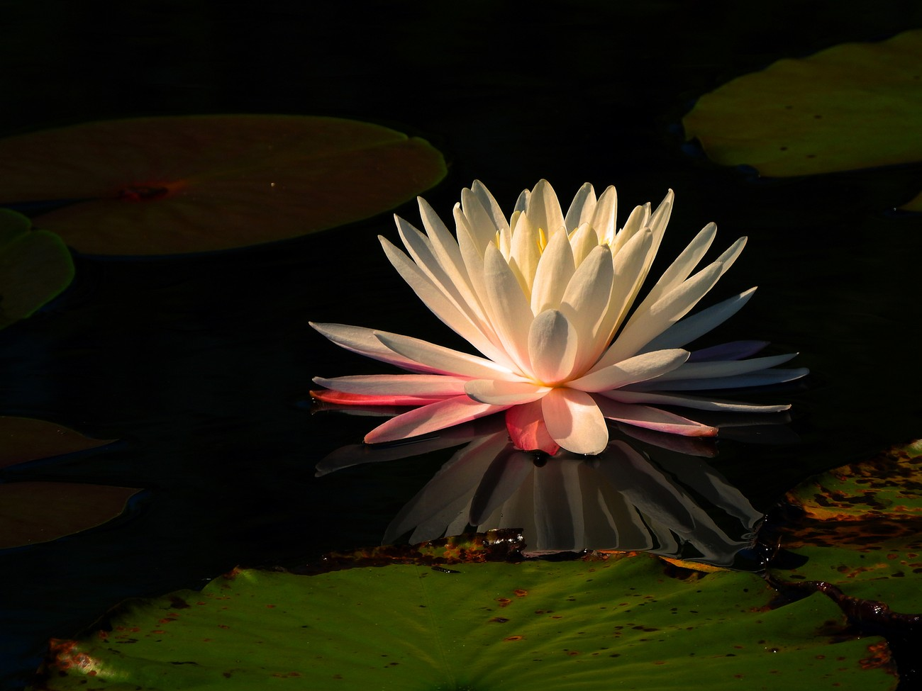 Water Lily reflecting on calm water