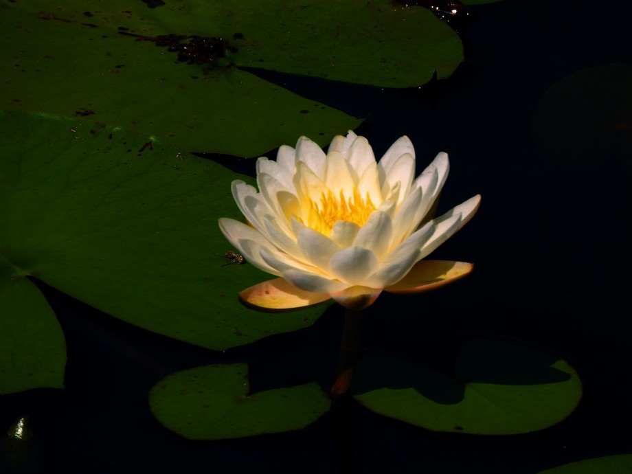 Water Lily newly opened