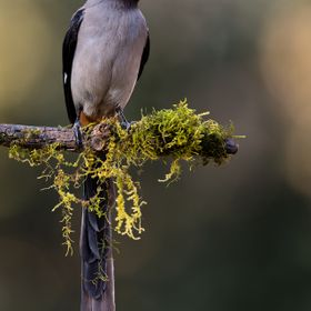 The grey treepie, also known as the Himalayan treepie, (Dendrocitta formosae) is an Asian treepie, a medium-sized and long-tailed member of the c...