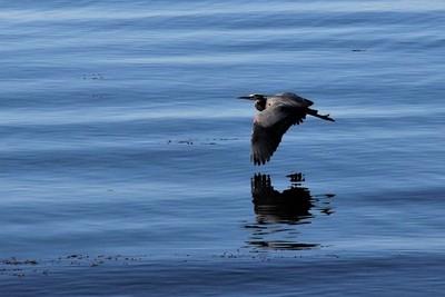IMG_2296, Great Blue Heron in Flight, Victoria Harbor, B. C., May 17