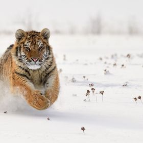 Siberian tiger (Panthera tigris altaica) - animal in human care.