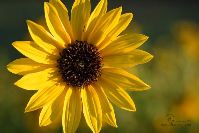 Daisy by RetinaEcho - Macro And Patterns Photo Contest