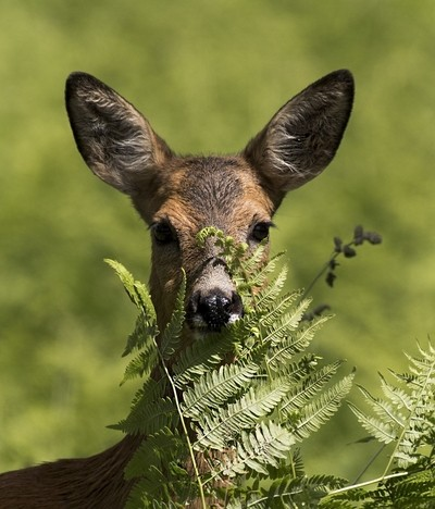 Roedeer hiding in fern