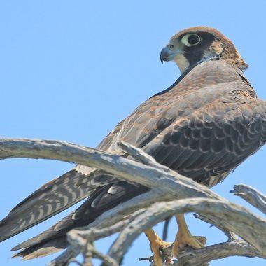 Juvenile Peregrine Falcon up close IMG_9709
