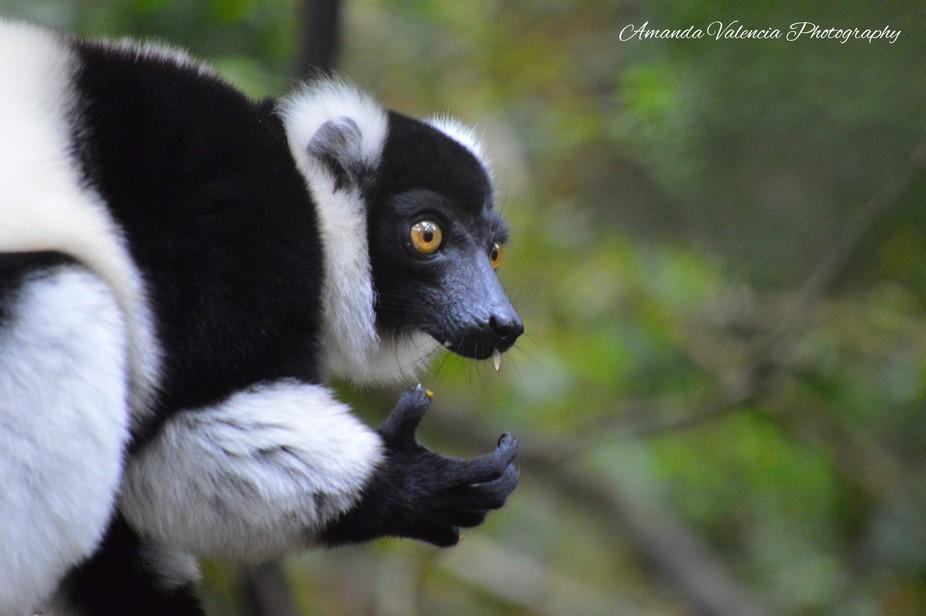 Ruffled Lemur