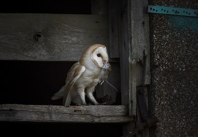 Thearne barn owl 33