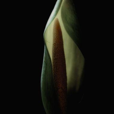 Flower of the Colocasia (Elephant Ear) plant