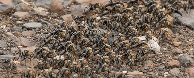 Soldier ants on the move!