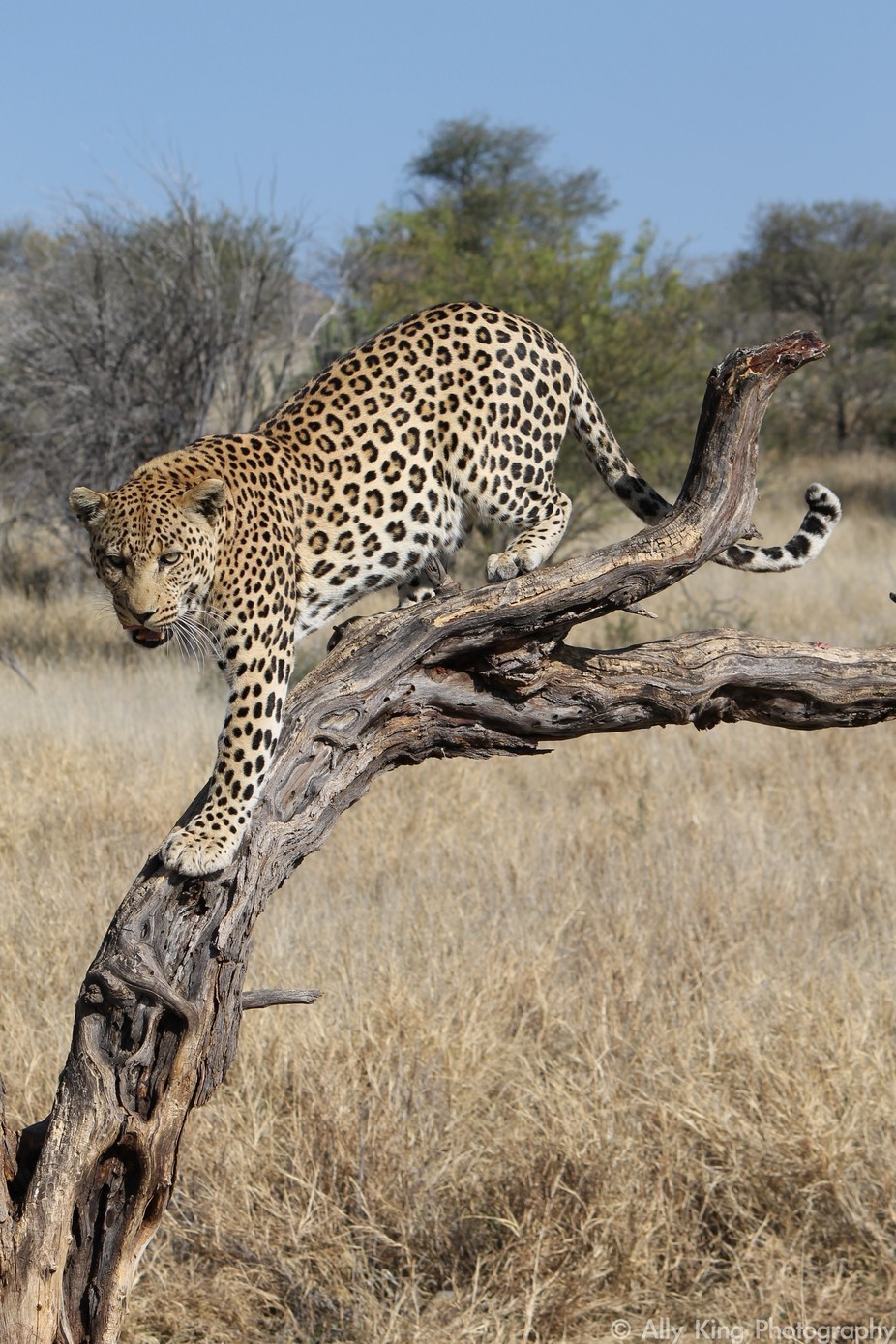 Leopard in Tree by allyking - Wildlife Photo Contest 2017