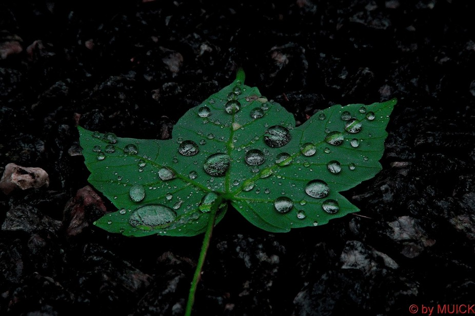 Raindrops on a maple leaf