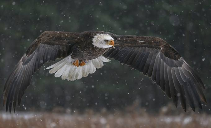 """"""" Wingspan"""" by Ingramfoto - Just Eagles Photo Contest"""