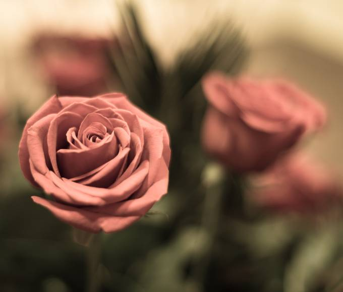 Soft Rose by deborahschillbach - Macro And Patterns Photo Contest
