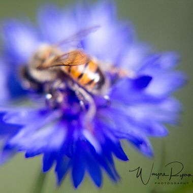 A bee on one of the blue button wildflowers in my back yard