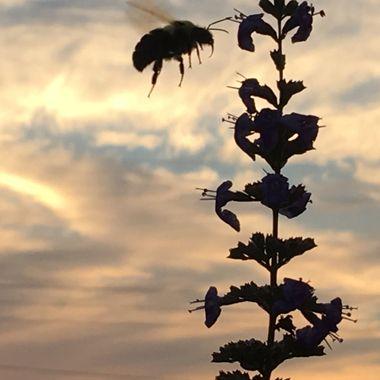 Bumblebee at Sunset