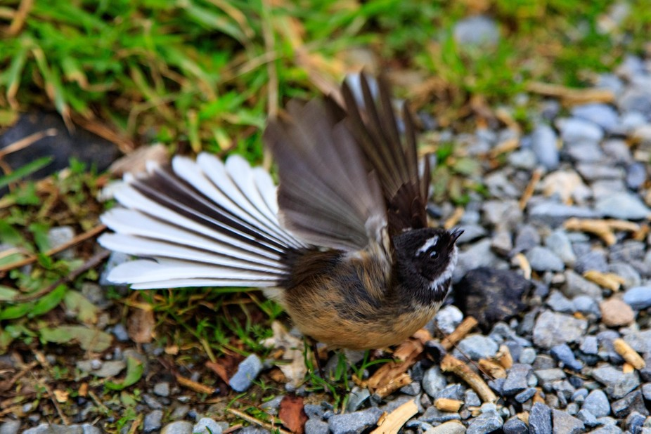 Fantail Display
