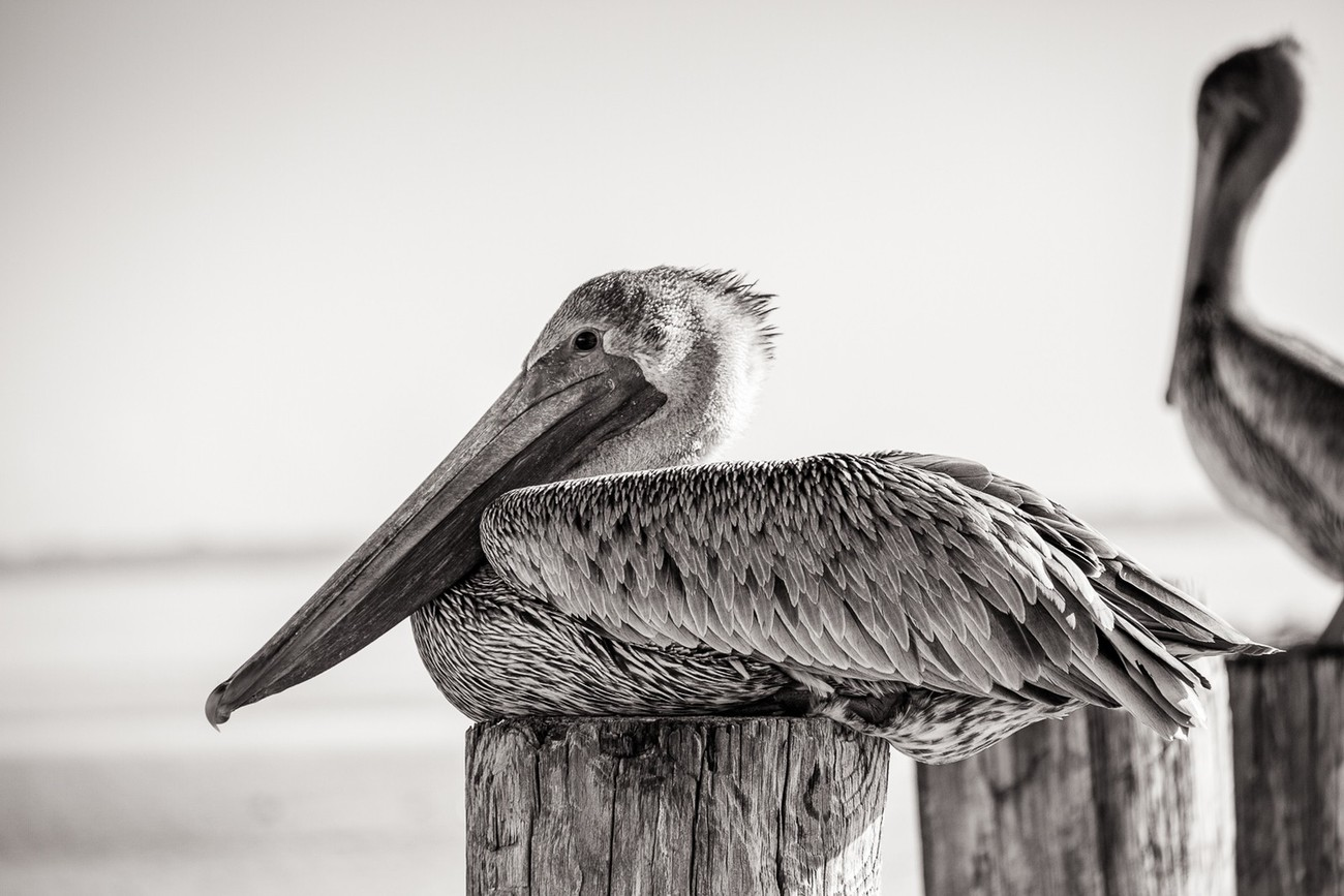 Pelican B-W