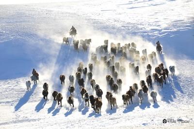 Stampede- rounding up wild horses