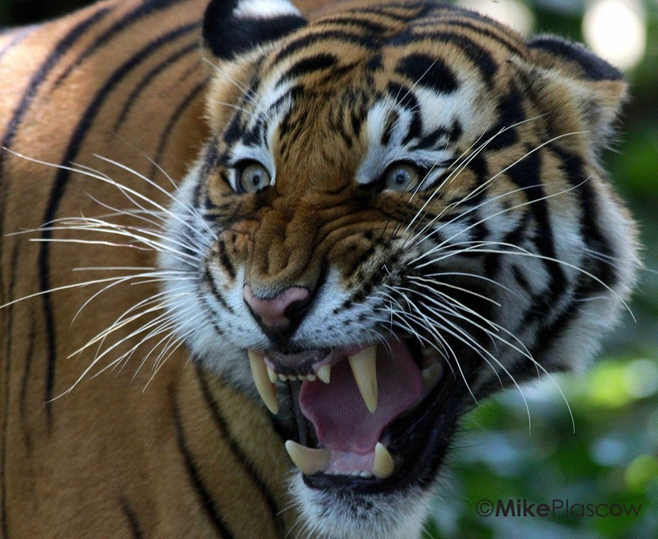 Tiger in a rage