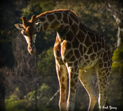 A Giraffe in the very early morning sun on a crisp Winters day at the Werribee Open Range Zoo.