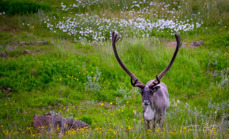 Reindeer out eating on the east coast of Iceland