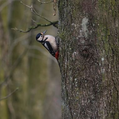 Woodpecker at Lake Vyrnwy