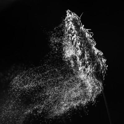 Pollen in Black & White-1