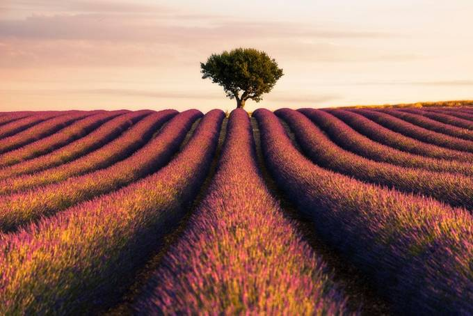 Provence lavenders 3 by madspeteriversen - Composition And Leading Lines Photo Contest