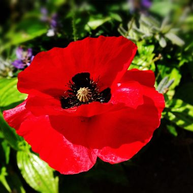 Brilliant Red Poppy