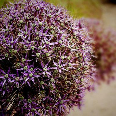Allium Balls