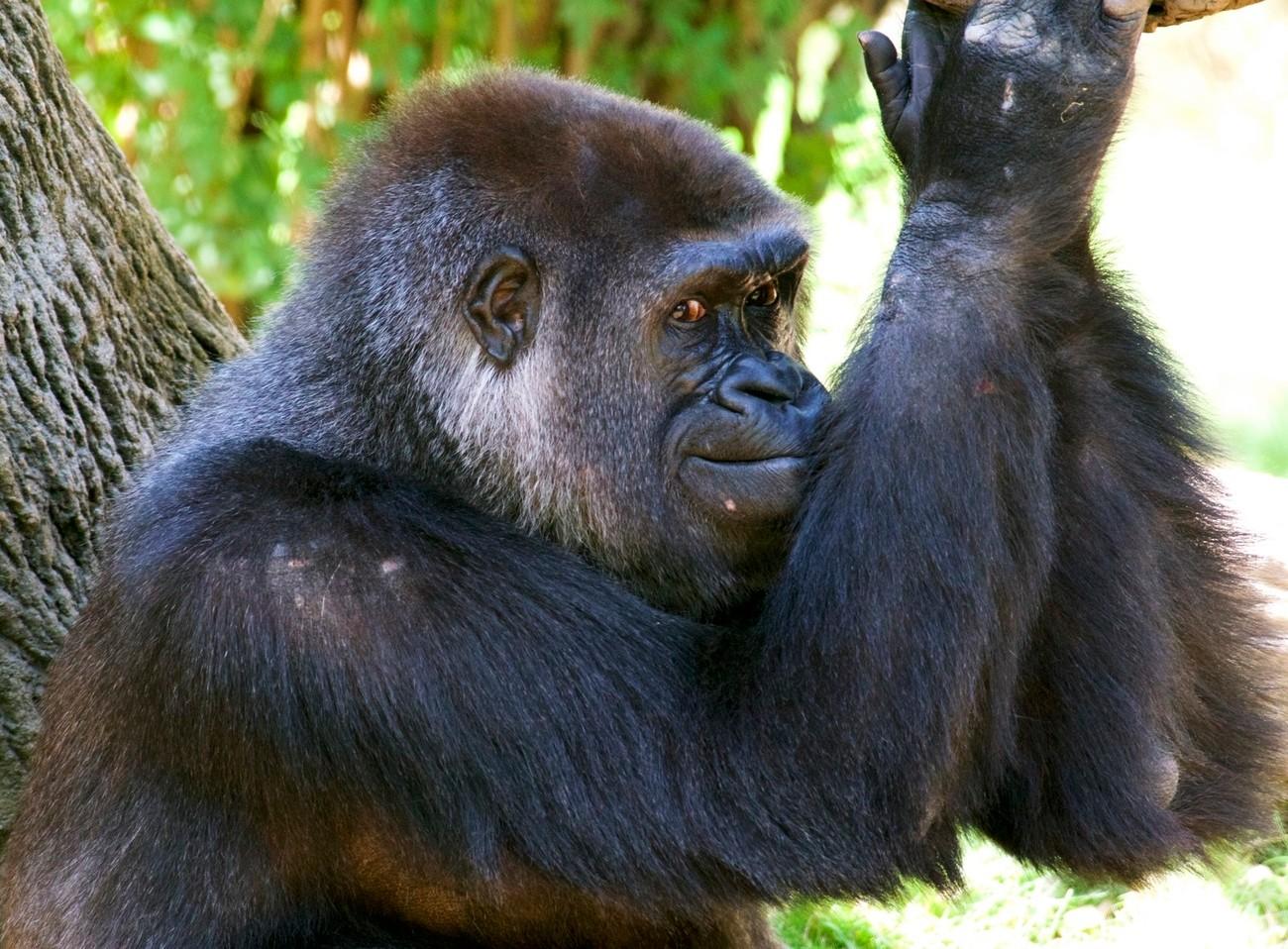 Mara the female Western Lowland Gorilla has serious attitude