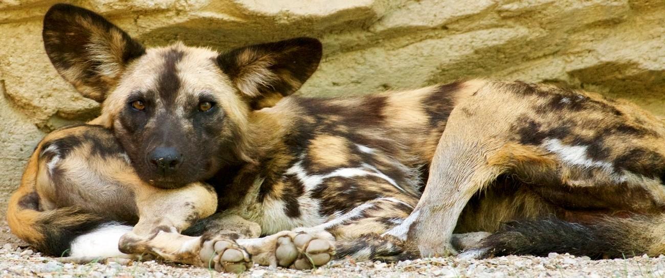 Sibling love between African Wild Dogs.