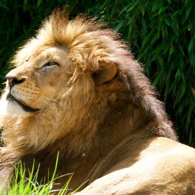 Male African Lion named John
