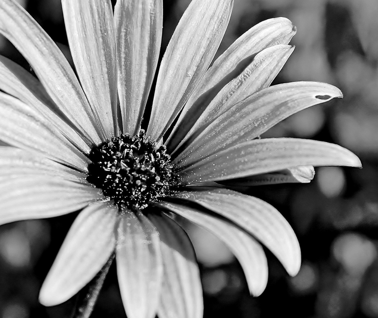 Bloom Warmed by the Sun - blk & wht
