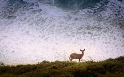 Ocean Deer