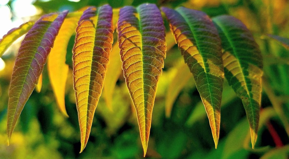 The Leaves of the Sumac lit up when the Sun Hit them