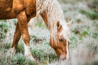 Palomino Mustang