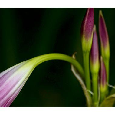 Purple Lily 1a