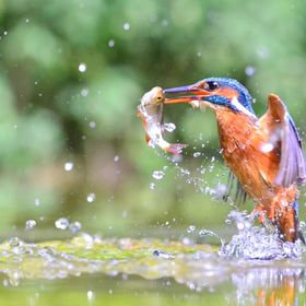 During the breeding season, the king fishers dive more than 50 times a day to catch as many fish and feed the chicks. The action is extremely fas...