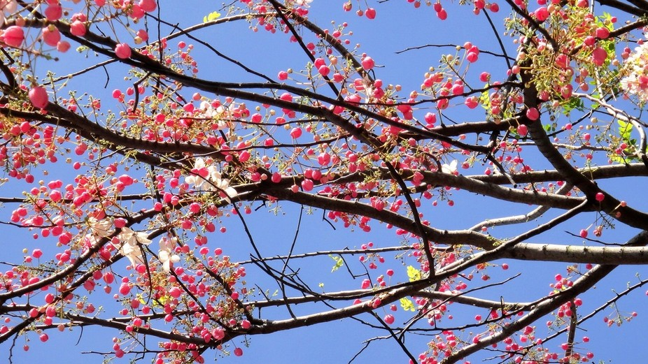 These flowers only bloom in summer. Known as Palawan Cherry, the species is quite rare, found in ...