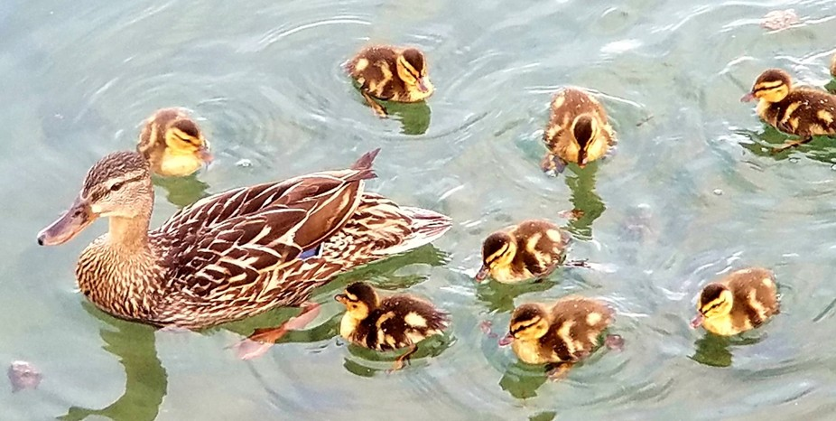 Mother Duck and 8 of her 10 babies