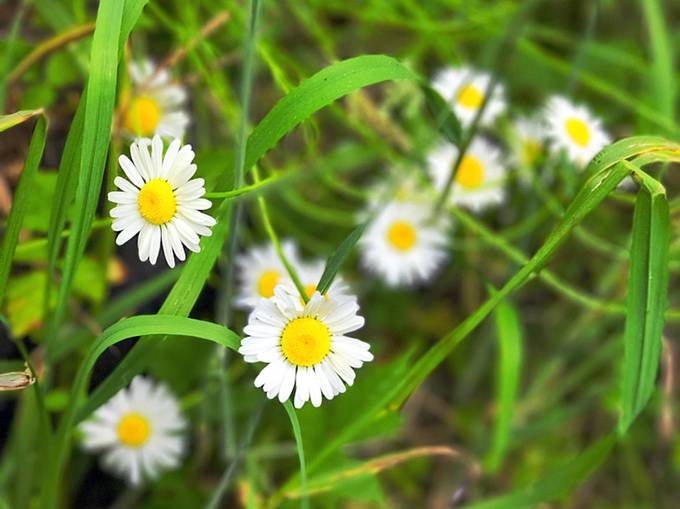 Daisies in the woods.