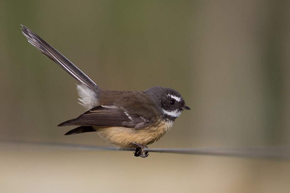 Fantail on a wire