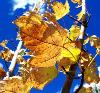 Autumn Leaves Hahndorf